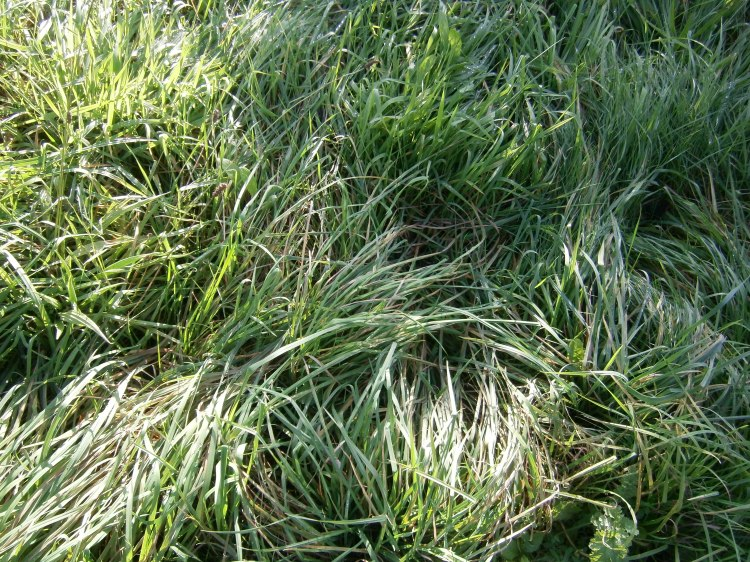 autumn grass, Snoqualmie Falls