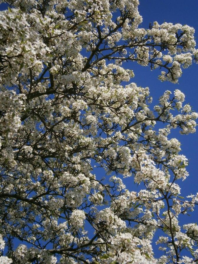 Northgate Cherry Blossoms