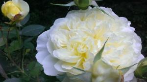 Laura's Rose
