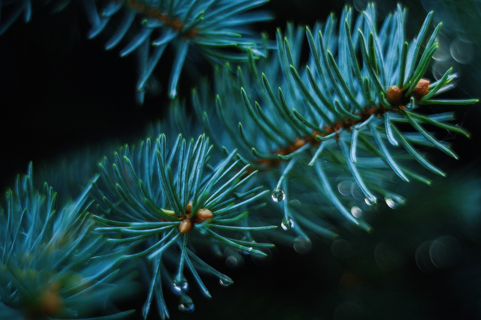 Pine needles with raindrops